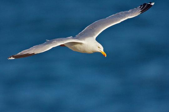 goeland en vol au dessus océan