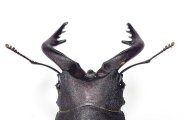 ノコギリクワガタ ‐Lucanidae‐