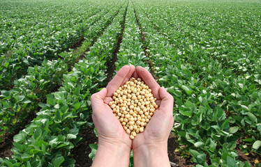 Soybean in hands with soy field in background