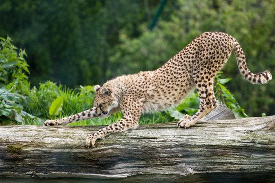 leopard scratching tree