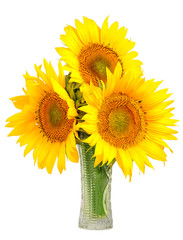 sunflowers in a glass vase - Helianthus annuu