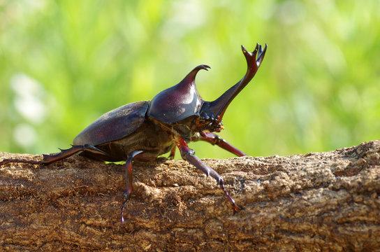 カブトムシ ‐Japanese rhinoceros beetle‐