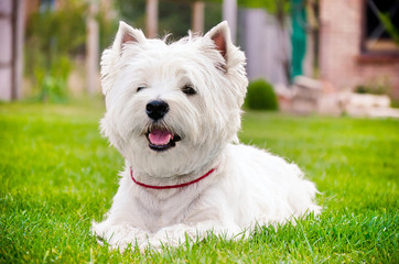 Westie on the green grass Wall mural