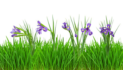 iris flowers in  grass border. Isolated on white