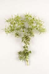 Eryngium campestre / Panicaut champêtre