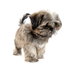 shih tzu puppy begging