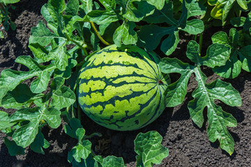 Watermelons on the green watermelon plantation
