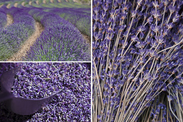 Variety of Lavender