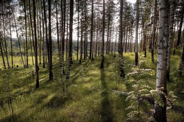 Forest landscape, sunlight in summer wood