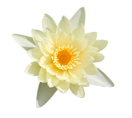 Water lily isolate on White background