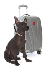 Mexican xoloitzcuintle puppy with the suitcase
