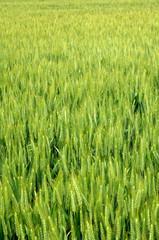 wheat field in France