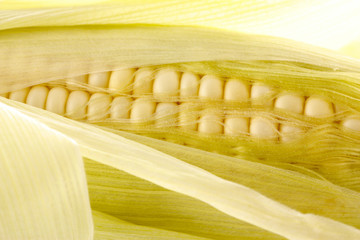 Corn cob close-up