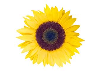 Sonnenblume mit weißem Hintergrund