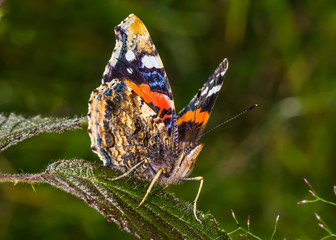 Red Admiral (Vanessa atalanta) butterfly