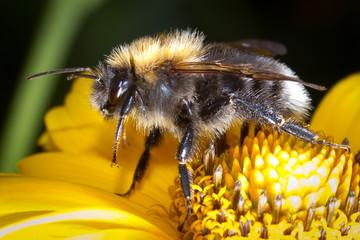 Macro of bumblebee on the flower