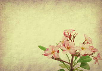 frangipani or plumeria tropical flower with old paper