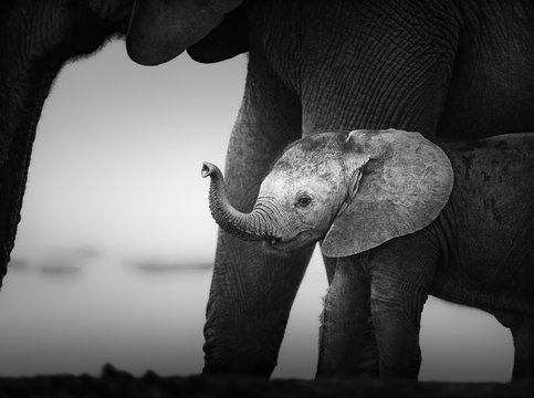 Baby Elephant next to Cow (Artistic processing)