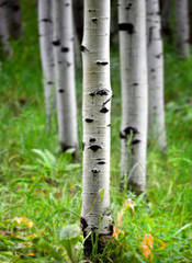 Foto auf AluDibond Birkenwald Aspen Birch Trees in Summer