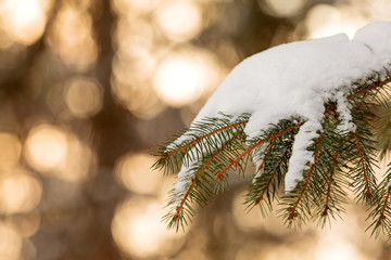 Snow covered pine tree branch during sunset