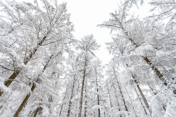 Frozen trees in wintertime covered with snow