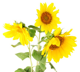 beautiful sunflowers, isolated on white
