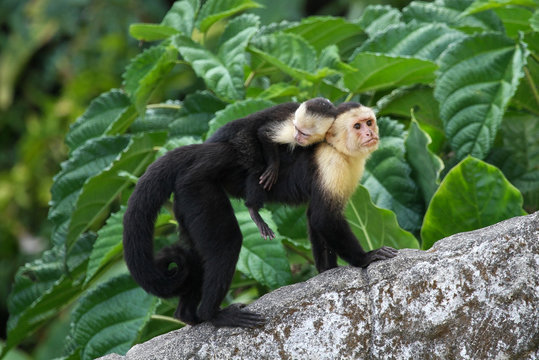 Adult Capuchin Monkey Carrying Baby on its Back