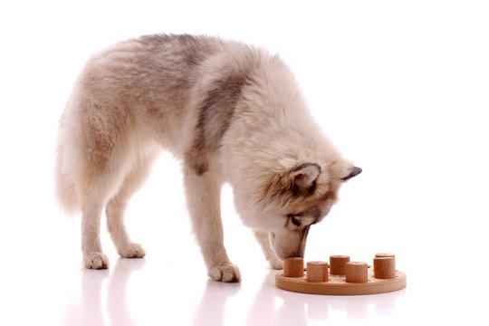 Junger Hund Husky sucht Lösung