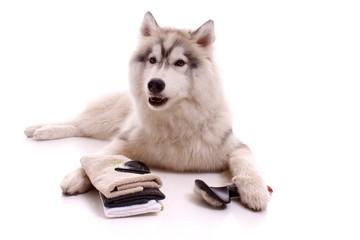 Junghund Husky mit Bürste und Handtuch
