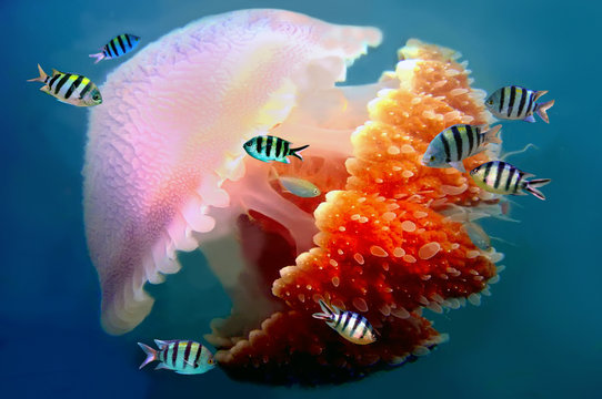 giant jellyfish swimming with tentacles following underwater