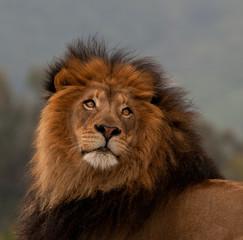 unique lion portrait