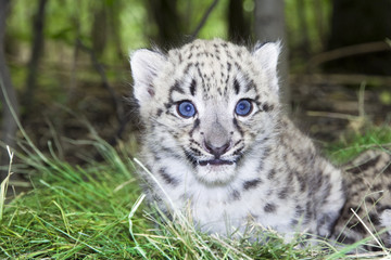 Baby snow leopard (Uncia uncia or Panthera uncia)