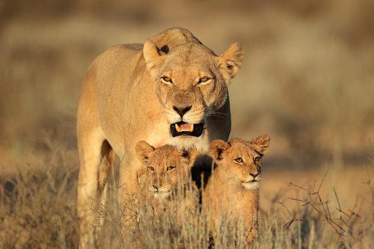 Lioness with young cubs, Kalahari