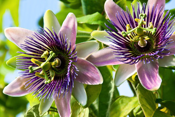 Passiflora - Medizin