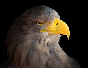 Fototapete - The Eagle head - Haliaeetus albicilla .
