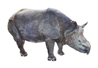 The Indian rhinoceros (Rhinoceros unicornis).