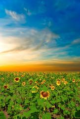 sunflowers on a beautiful sunset