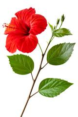 Flowering Hibiscus