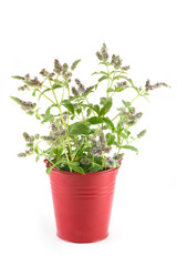 Flowers fresh mint in a red pail