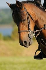 cheval baisant la tête