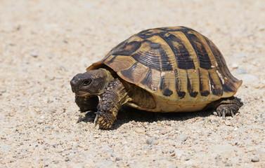 turtle on sand, testudo hermanni, Hermann's Tortoise