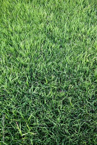 Pelouse gazon herbe vert jardin parc verdure photo for Pelouse tarif