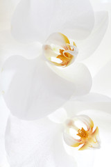 Close up on white orchid