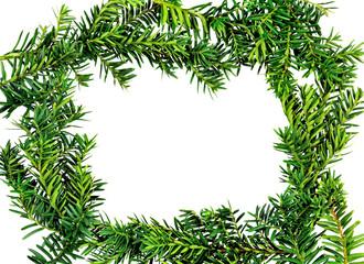 Frame yew ( Taxus cuspidata )