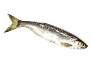 ablet (Alburnus alburnus)