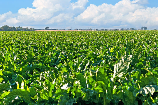 Large field of sugar beets in rural central Colorado.