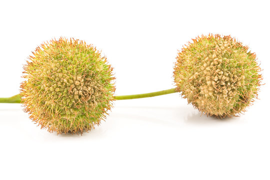 Two plane-tree seed balls