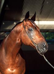 portrait of beautiful horse on manege background