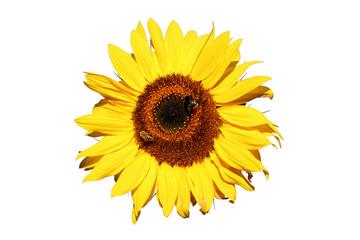 Sonnenblume mit 2 Bienen