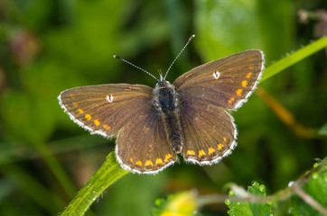 Northern Brown Argus butterfly (Aricia artaxerxes)